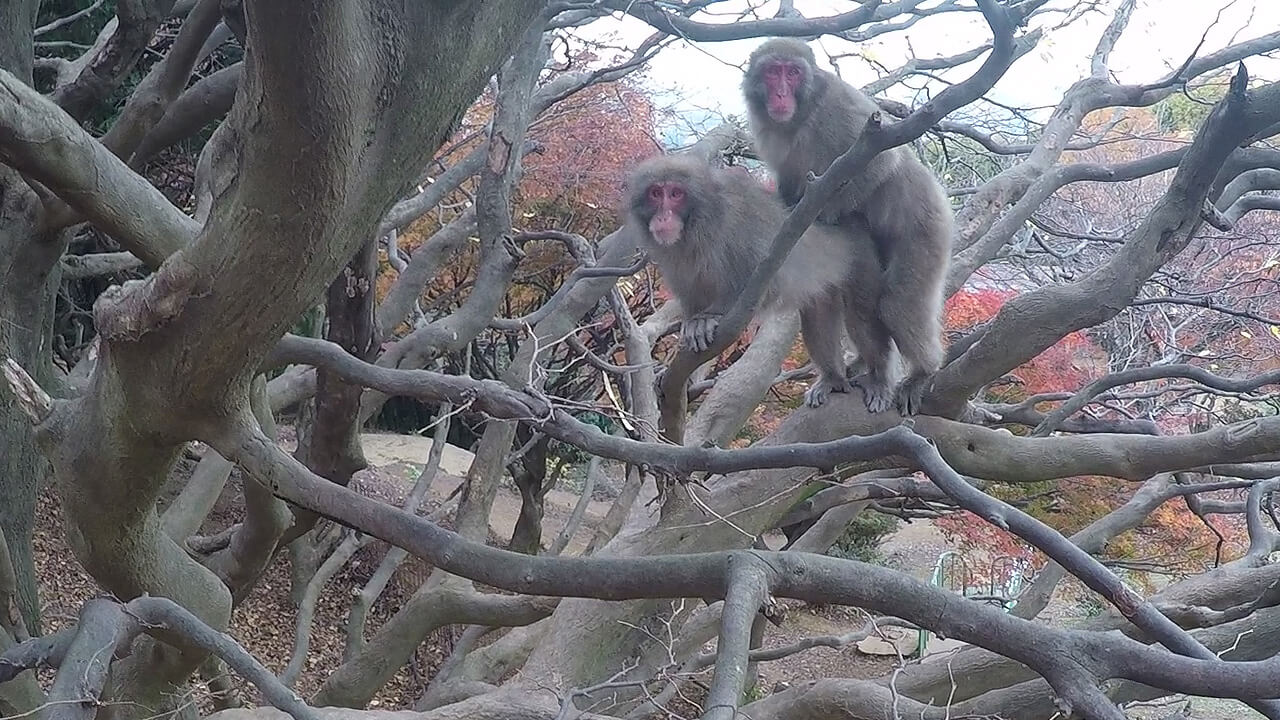 japan-monkey-park-laser-time-kyoto